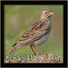 Download Eurasian Skylark Bird Chirping Sounds 1.0 APK