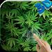 Download Marijuana 3D Live Wallpaper HD 3.0 APK